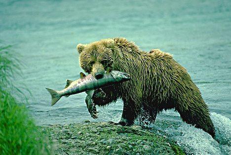 Bear Eating Salmon 948